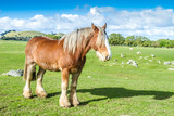 beautiful scotland horse on farm, green grass field and blue sky background