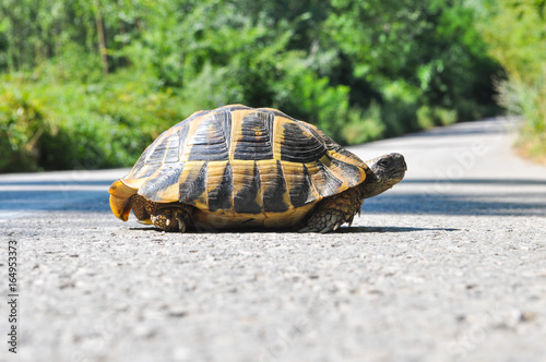 Fotobehang Route 66 Hermann's tortoise (Testudo hermanni) on the middle of the road. Turtle crossing asphalt road