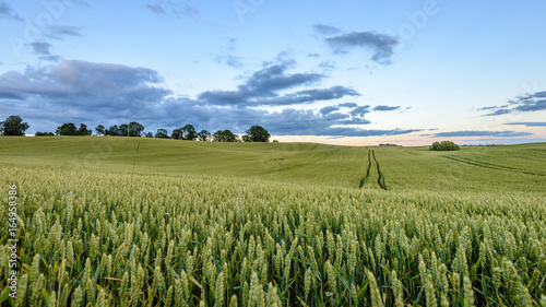 wheat fields in summer with young crops