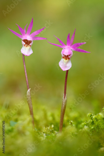 Wild orchid from Finland Poster