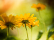 summer season yellow flowers isolated at abstract background