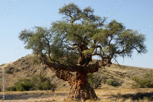 Namibia : baobab