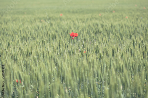ed poppy flower in green wheat field. Wheat spikes and beautiful blossoming poppie. A lone red poppy in a field of green wheat
