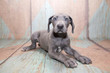 petland kennesaw has Great Dane puppies for sale buy a Great Dane puppy today at petland kennesaw