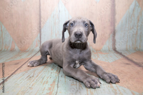 Obraz petland kennesaw has Great Dane puppies for sale buy a Great Dane puppy today at petland kennesaw