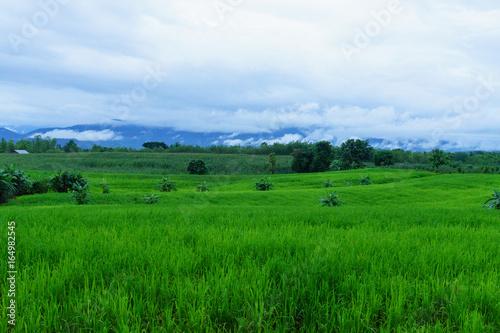 Corn field in rainy season,on white sky