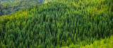 Aerial view of green tropical pine forest panorama
