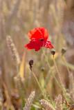 Red poppy flower in ripe wheat field. Flat look