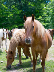 Brown Horses with Tan Hair