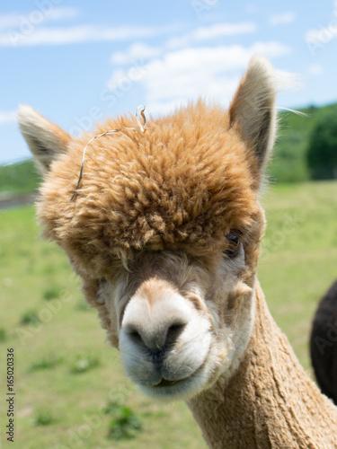 Tan Brown Alpaca Face Poster