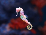 Fototapety seahorse (Hippocampus) swimming.