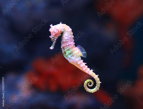 seahorse (Hippocampus) swimming. - 165039757