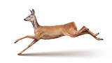 Jump of the Roe Deer (with shadow) isolated on white. - 165053312
