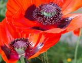 Klatschmohn-Blüte