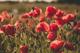 Background. Red, wild poppies in the field