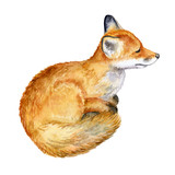 Fox on a white background. Animal. Watercolor. Template. Picture.