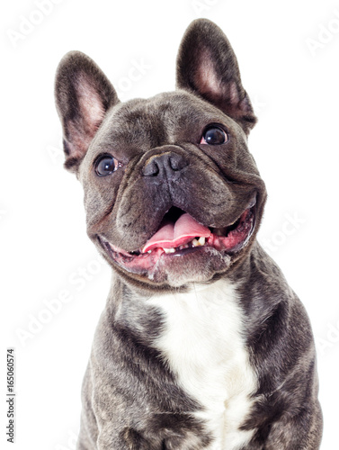 Deurstickers Franse bulldog Portrait of a French bulldog dog looking
