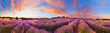 Panorama of lavender field at sunset, France - 165098153