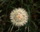 Lone-Dandelion