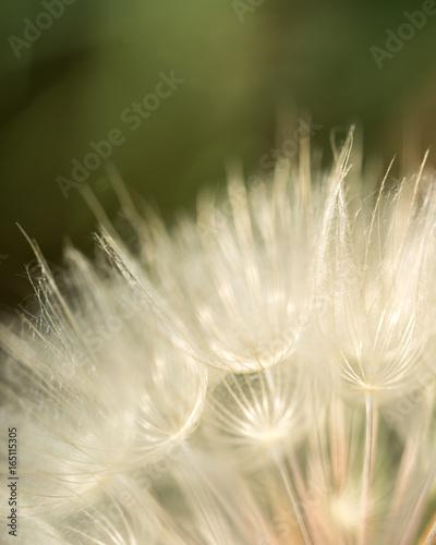 Dandelion-Grass