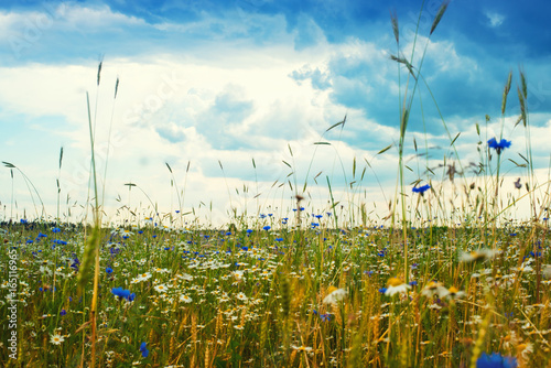 summer landscape with a field, blue sky and white clouds. flowers camomiles on meadow. wild flowers