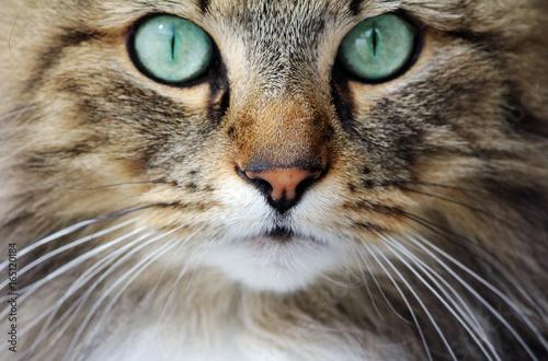 Twarz całkiem młodego norweskiego kota leśnego