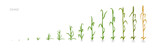 Wheat plant Triticum cultivation agriculture Growth stages vector illustration - 165141573