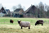 Sheeps walking opposite the village houses - 165155773