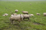 Sheeps On A Farmland In The Netherlands - 165160718