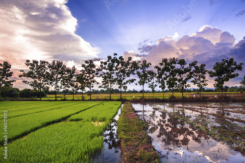 landscape of young rice in farm agriculture