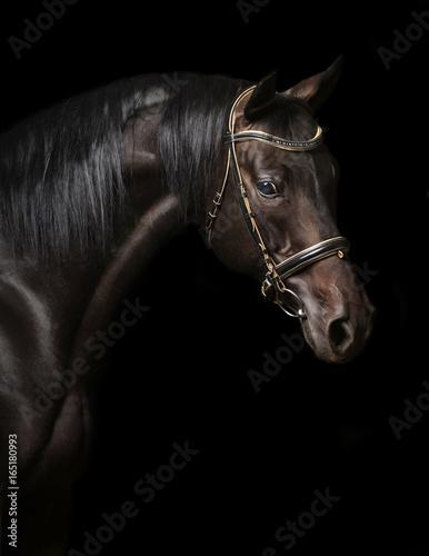 Portrait of a bay stallion