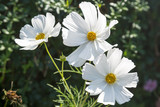 White Cosmos Flowers - 165186924