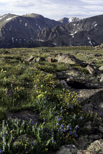 Yellow flowers blooming in a valley in the Rocky Mountains of Colorado