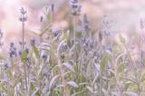 Lavendel im Licht