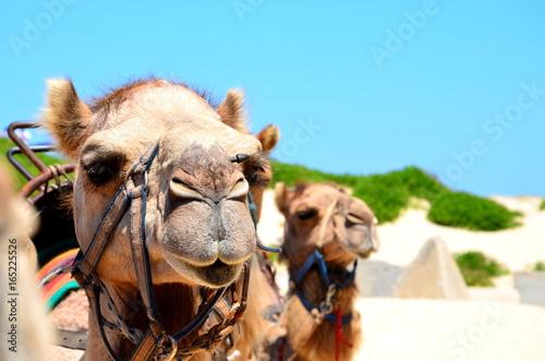 Fototapeta Kamele in Australien