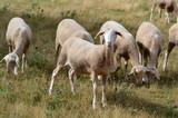 Troupeau de mouton - 165262945