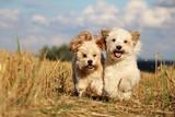 2 kleine hunde rennen durch ein stoppelfeld