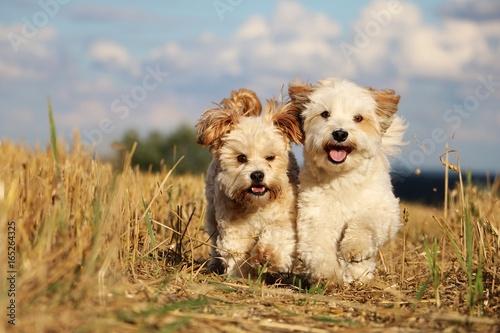 Fototapeta 2 kleine hunde rennen durch ein stoppelfeld