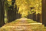 Aleja lipy w mieście w słoneczny październikowy poranek