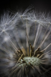 Close-up dandelion's seeds