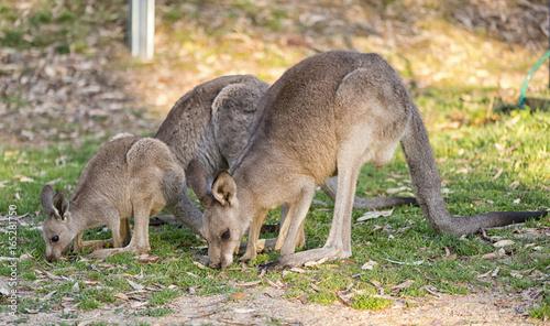 Kangaroo family together