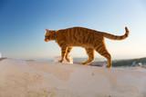 red cat walking