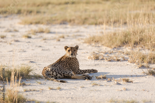 Young Cheetah In Late Afternoon Light