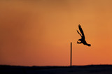 An Osprey comes in to land on a small post silhouetted against the morning orange and red sky. - 165295918