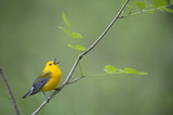 A bright yellow Prothonotary Warbler sings out loudly while perched on a small branch with fresh spring leaves with a smooth green background. - 165296534