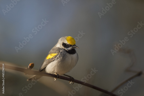 A Golden-winged Warbler sits on a small perch in the early morning sun for a dramatic portrait Poster
