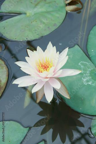 Beautiful lotus flower is the symbol of the buddha thailand close beautiful lotus flower is the symbol of the buddha thailand close up lotus in mightylinksfo