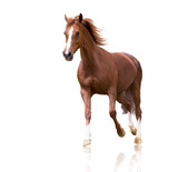 red horse with the three white legs and white line on the face isolated on white background runs
