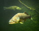 The Zander or Pike-perch (Sander lucioperca). Underwater photography from fresh water lake. - 165324155