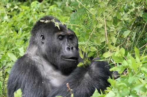 Gorilles des montagnes Poster